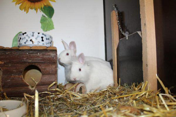 Wie viele andere Kaninchen suchen Meno und Mana ein Heim.