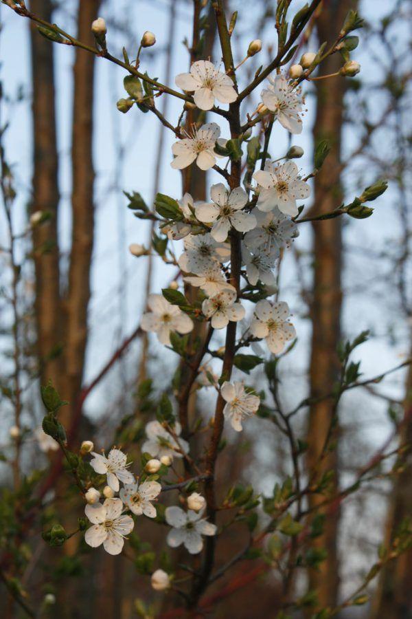 Es grünt und blüht: Die wilde Mirabelle (oben) und Pfirsichblüten (l.) erfreuen ebenso wie das frische Grün.