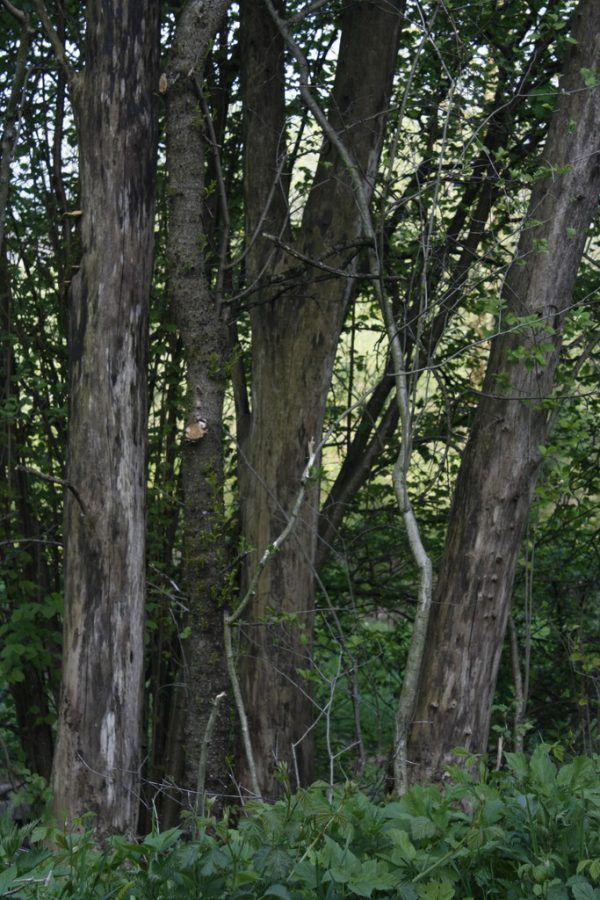 Abgestorbene Eschen (oben) sind immer wieder zu sehen. Unten: Es ist die Zeit, in der die Blätter (Ulme) austreiben.
