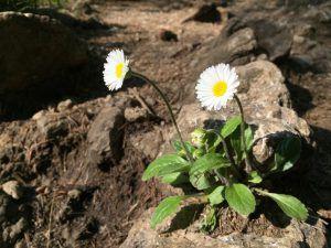 Ziert und pflegt: Gänseblümchen