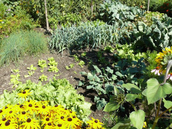 Noch ist es möglich, Setzlinge auszubringen und auch zu säen, damit das Angebot an frischem Gemüse aus dem Garten länger anhält.Harald Rammel