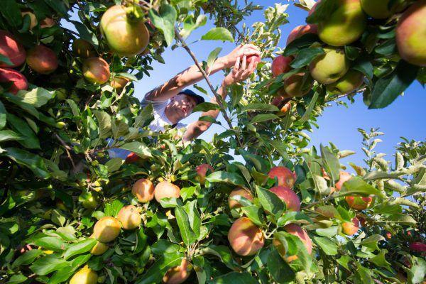 Frost im April, Hitzewelle im Juni – Wetterextreme setzen den Obstbauern zu.
