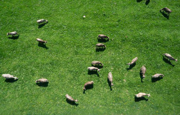 Unterstützung für Kälber und Fleischrinder wurden laut Landesrat erweitert und verbessert.Klaus Hartinger