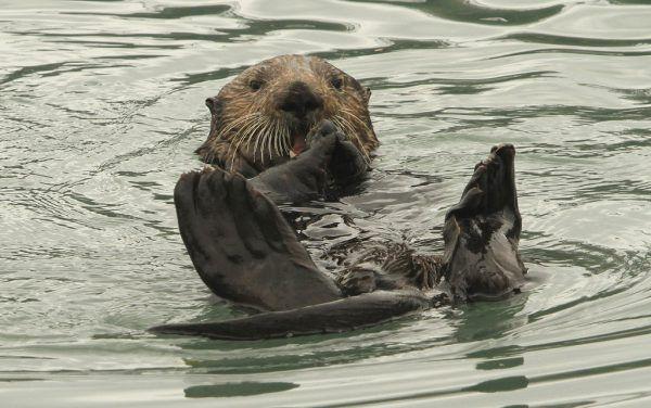 Die Fischer sehen durch die Seeotter ihre Fangquoten bedroht.AP