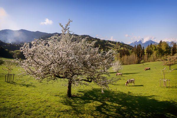 Die milden Temperaturen haben sich positiv auf die Obstbaumblüte ausgewirkt.Dietmar Stiplovsek