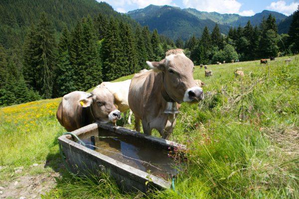 Durch den verkürzten Alpsommer ist die Milchmenge geringer.Klaus Hartinger
