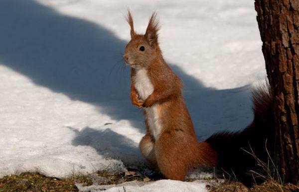Das Eichhörnchen sucht nach seinen Vorräten. dpa/Tim Brakemeier