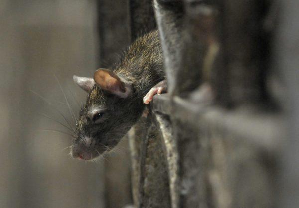 Ratten sind vor allem in Großstädten wie etwa New York ein Problem.Symbolbild/reuters