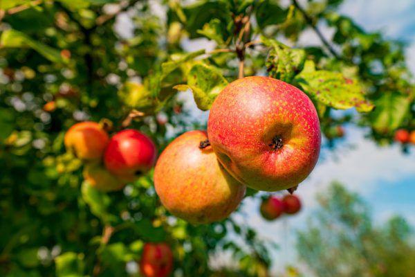 Die Apfelernte in Vorarlberg ist derzeit voll im Gang.Dietmar Stiplovsek, Bergauer