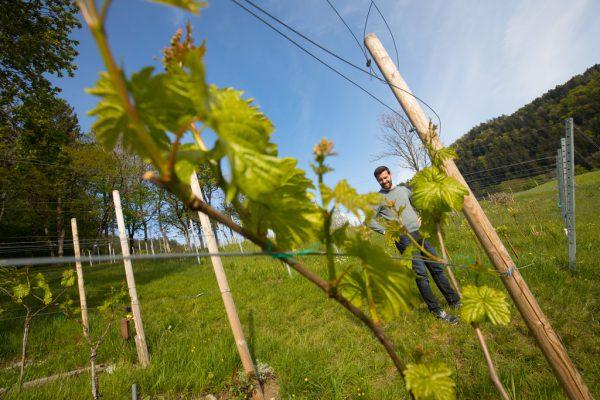 Seit zwei Jahren baut Simon Tschann mit weiteren Beteiligten Wein in Gebiet Rungelin an.Archiv NEUE
