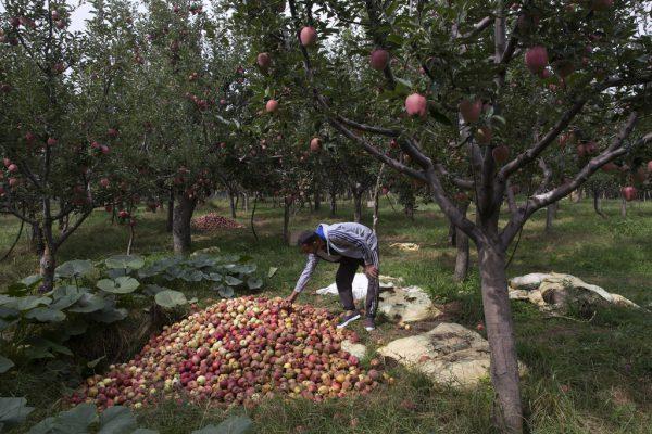 Die Äpfel verfaulen teilweise in den Plantagen. Es drohen Verluste in Millionenhöhe.