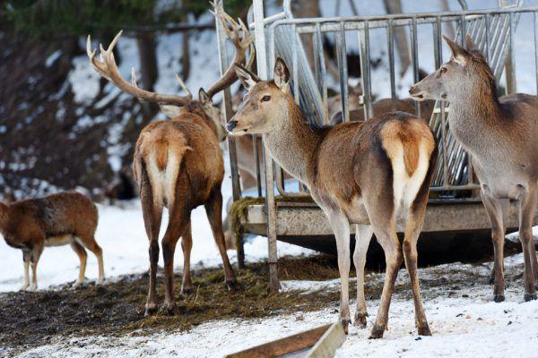 Grundlage für jeden Abschussplan ist die jährliche Wildzählung bei den Fütterungen.Shutterstock/Symbolbild