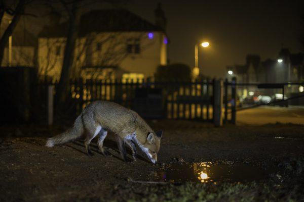Auch wenn Wildtiere jetzt vielleicht häufiger an ungewohnten Orten sind, neue Lebensräume erschließen sie damit nicht, sagt der Experte. Shutterstock, Rüdisser