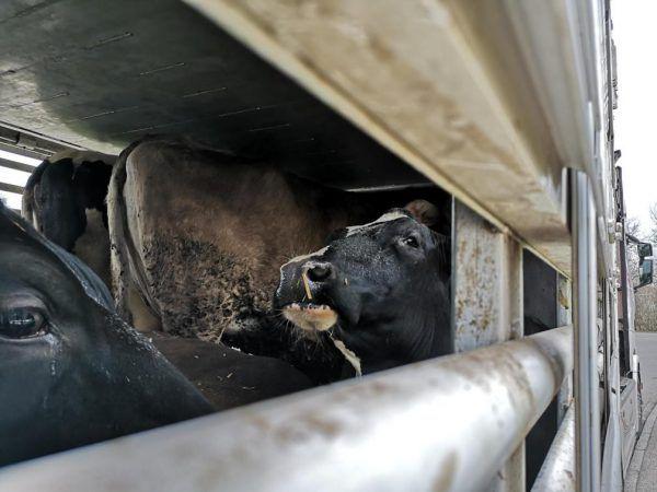 An den Tiertransporten gibt es immer wieder Kritik.VGT