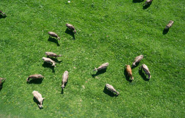 Kühe können derzeit nicht weiden, da aufgrund der Trockenheit kein Gras nachwächst.Klaus Hartinger