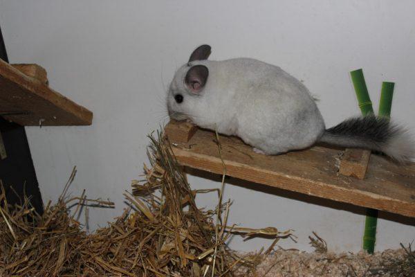 Chinchilla Snow möchte ein Zuhause (o.).Wer kennt Somebody oder Katze Kim?Tierschutzheim (4)