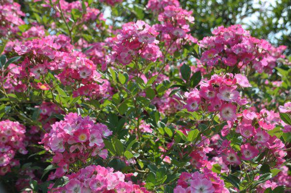 Rosen sind vielfältig und verschönern jeden Garten.Rammel (7)