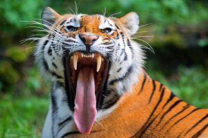 Sibirischer Tiger tötete Tierpflegerin in Zürcher Zoo