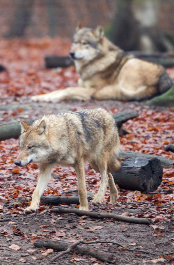 Ein Wolf soll die Tiere gerissen haben. dpa