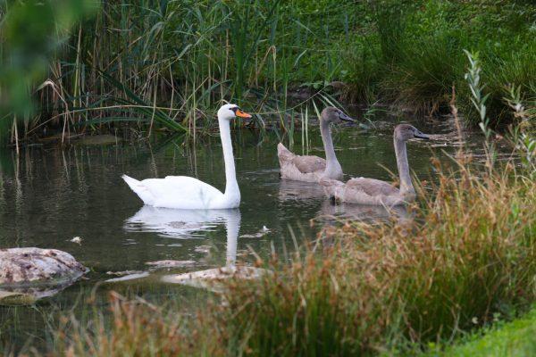 Eine Schwanfamilie lebt am Jannersee. Zwei der vier Jungschwäne wurden nach Beschwerden von Badegästen und Landwirten abgeschossen.Hartinger