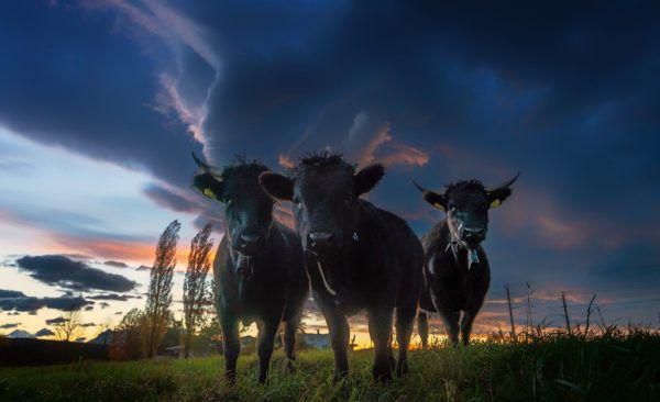 Junge Rinder beim Sonnenuntergang. Symbolbild/Stiplovsek