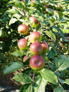 Den idealen Obstbaum für den Garten finden