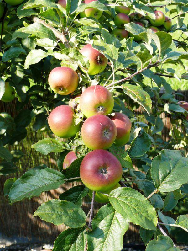 Reife Früchte im Garten sind nicht nur ein schöner Anblick, sondern schmecken auch besonders gut.
