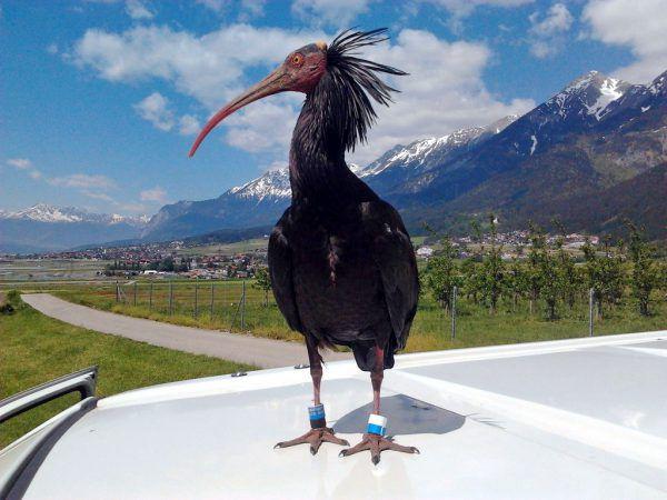 Die großen Ibis-Vögel sind mit einem Sender ausgestattete.APA