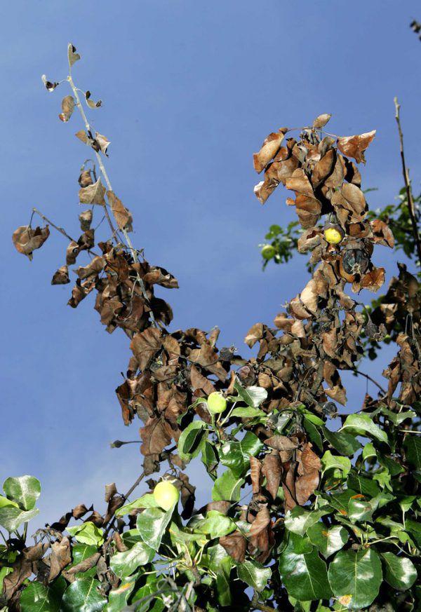 Durch die Infektion welken Blätter und Blüten befallener Pflanzen.Symbolbild/archiv