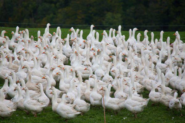 Etwa 600 Gänse werden normal auf dem Hof der Bechters gehalten. Heuer waren es lediglich 250.