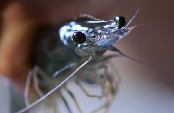 Bei Crusta Nova im bayrischen Langenpreising werden Garnelen (Pacific White Shrimp) gezüchtet und verkauft.