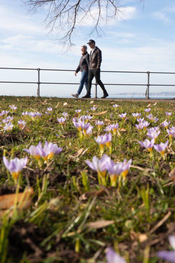 An der Seepromenade blühen die Krokusse.Hartinger (5)