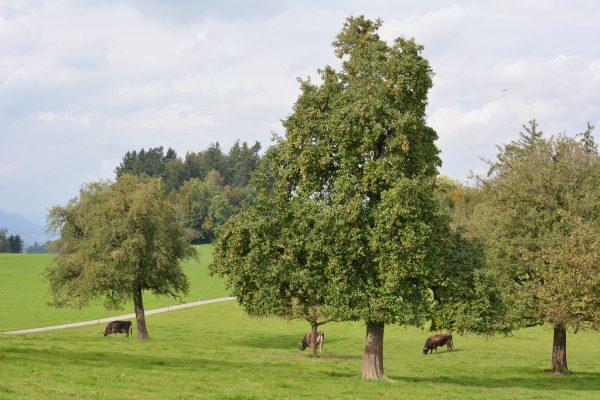 Einer der 134 neuen Hochstammbäume. Stadt Dornbirn