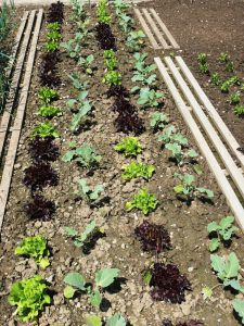 Mit Anbaustrategie zum Gemüsegenuss