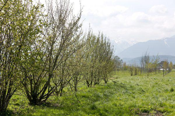 Früher dienten die Wild-hecken vor allem als Schutz vor Wind, dabei haben die Pflanzen noch so viel mehr zu bieten. Dietmar Mathis (6)