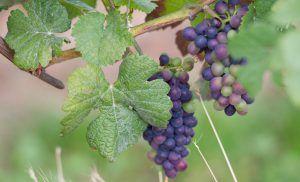 Jesus ist der Weinstock