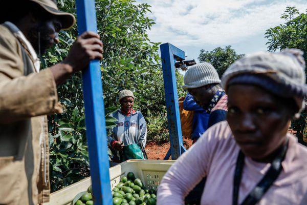 Die Avocados der Farmen werden auch exportiert. Die Kriminellen verkaufen die Früchte lokal.AFP