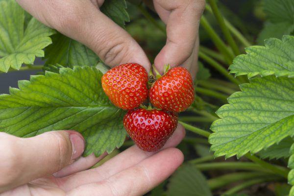 In Vorarlberg können rund 15 Tonnen Erdbeeren geerntet werden.Hartinger