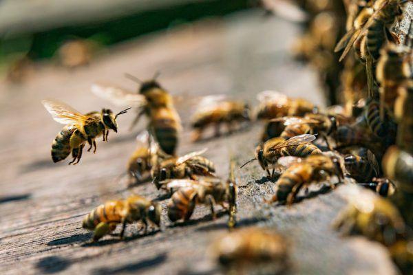 Knapp 80 Prozent der Kulturpflanzen sind auf die Bestäubung von Honigbienen angewiesen.Stiplovsek Dietmar (4)
