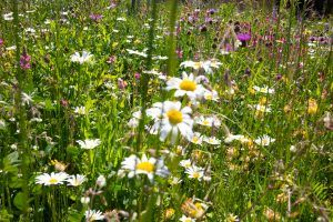 Blumenwiese für die Natur und das Auge