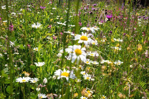Eine Blumenwiese hilft auch den Bienen.Hartinger
