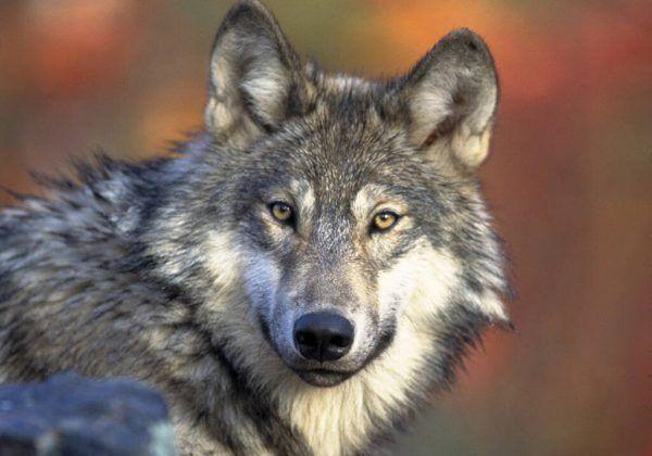 Der Wolf.AP