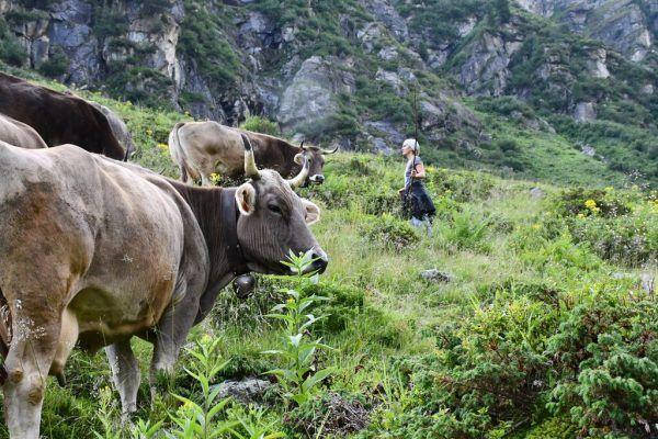 Derzeit verbringen zahlreiche Tiere ihren Sommer auf den Alpen.Oben Landwirtschaftskammer-Präsident Josef Moosbrugger.Neue-Archiv/LK Vorarlberg, Sams