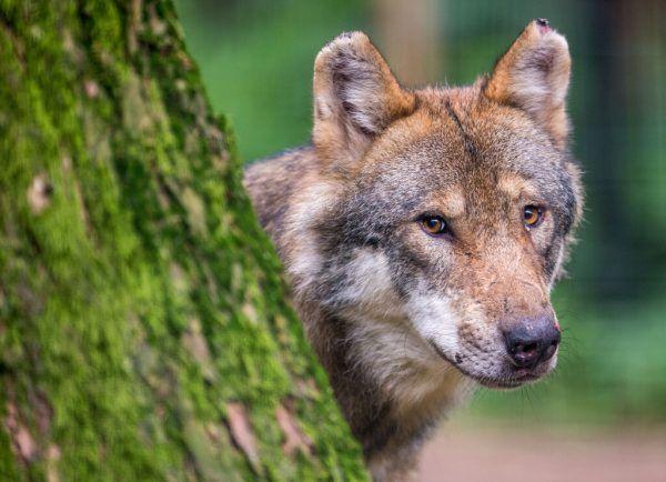 Wie mit dem Wolf umgehen? Das ist die Frage, die sich viele stellen.dpa