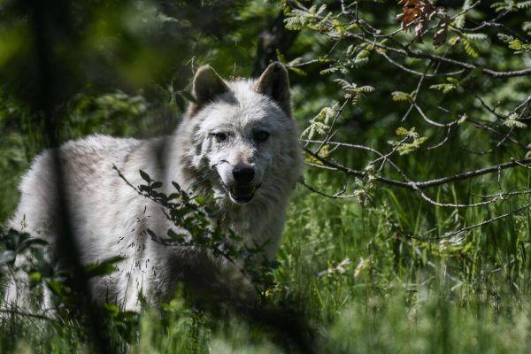 Der Umgang mit dem Wolf ist nicht immer leicht. Symbolbild/AFP